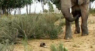 Vai ziloņi baidās no pelēm?