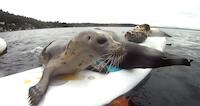 Sērfo ar roņiem